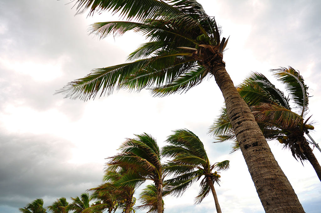 palm trees blowing in hurricane winds